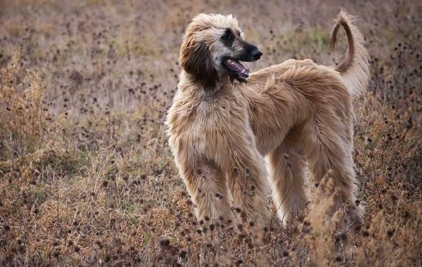 Афганская-борзая-собака-Описание-особенности-виды-характер-уход-и-цена-породы-3
