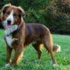 Английская овчарка собака. Описание, особенности, история, характер, уход и цена породы