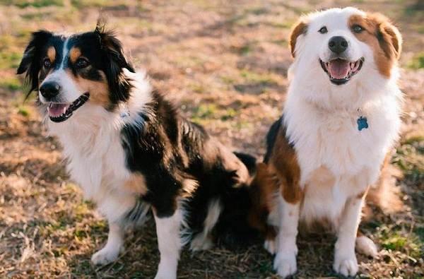 Английская-овчарка-собака-Описание-особенности-история-характер-уход-и-цена-породы-4