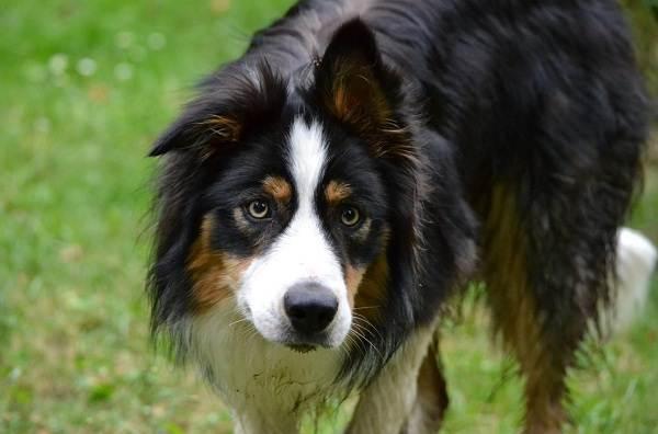 Английская-овчарка-собака-Описание-особенности-история-характер-уход-и-цена-породы-5