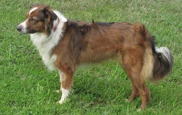 Английская-овчарка-собака-Описание-особенности-история-характер-уход-и-цена-породы-7