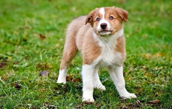 Английская-овчарка-собака-Описание-особенности-история-характер-уход-и-цена-породы-9