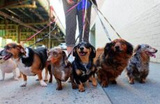 Длинные породы собак. Описание, особенности, виды, названия и фото длинных пород собак