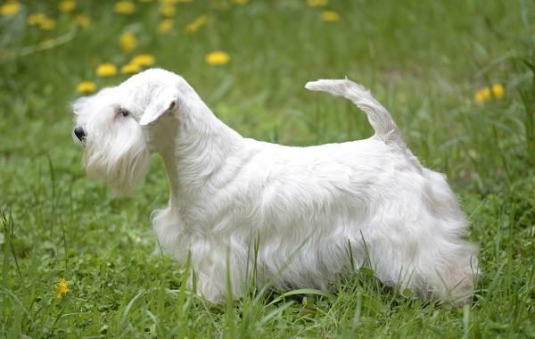 Длинные-породы-собак-Описание-особенности-виды-названия-и-фото-длинных-пород-собак-12
