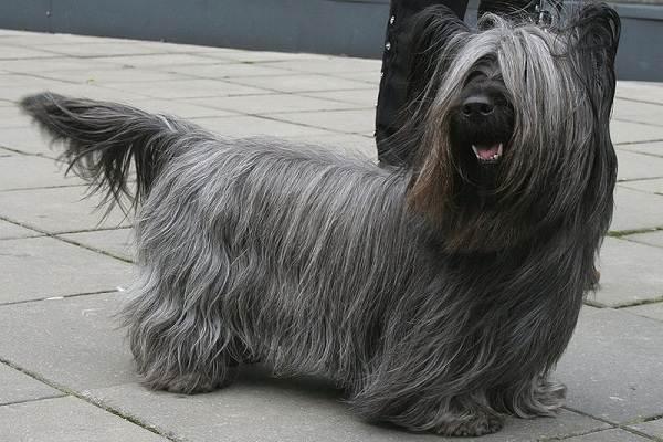 Длинные-породы-собак-Описание-особенности-виды-названия-и-фото-длинных-пород-собак-13