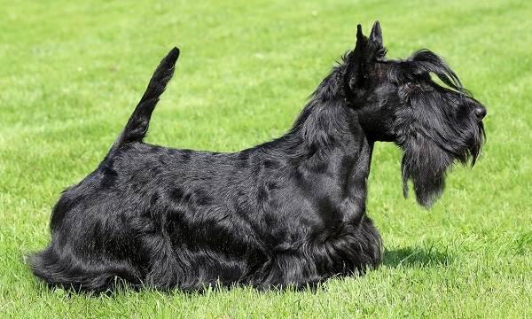 Длинные-породы-собак-Описание-особенности-виды-названия-и-фото-длинных-пород-собак-14