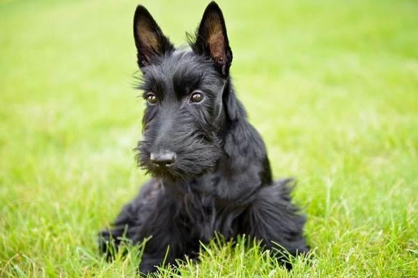 Длинные-породы-собак-Описание-особенности-виды-названия-и-фото-длинных-пород-собак-15