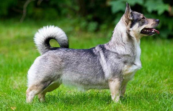 Длинные-породы-собак-Описание-особенности-виды-названия-и-фото-длинных-пород-собак-18