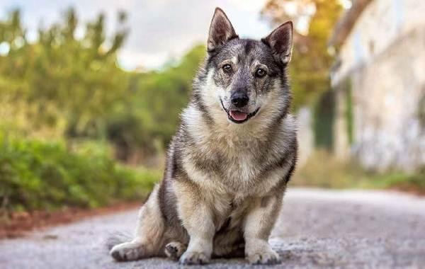 Длинные-породы-собак-Описание-особенности-виды-названия-и-фото-длинных-пород-собак-19