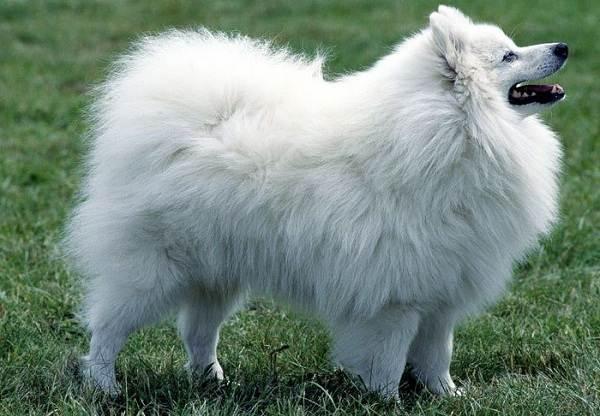 Длинные-породы-собак-Описание-особенности-виды-названия-и-фото-длинных-пород-собак-20