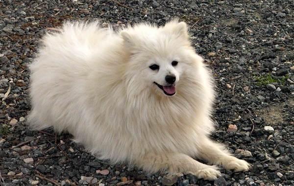 Длинные-породы-собак-Описание-особенности-виды-названия-и-фото-длинных-пород-собак-21