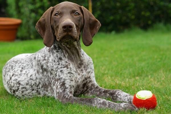 Длинные-породы-собак-Описание-особенности-виды-названия-и-фото-длинных-пород-собак-24