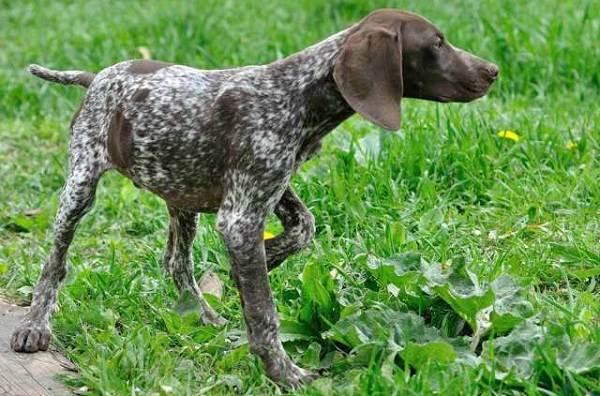 Длинные-породы-собак-Описание-особенности-виды-названия-и-фото-длинных-пород-собак-25
