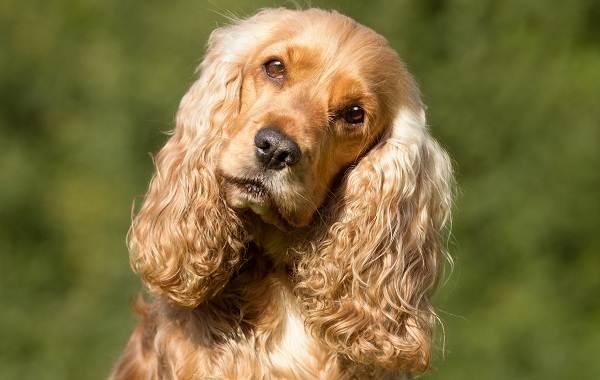 Длинные-породы-собак-Описание-особенности-виды-названия-и-фото-длинных-пород-собак-28