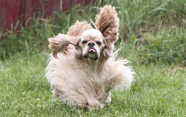 Длинные-породы-собак-Описание-особенности-виды-названия-и-фото-длинных-пород-собак-29