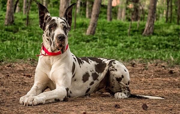 Длинные-породы-собак-Описание-особенности-виды-названия-и-фото-длинных-пород-собак-30