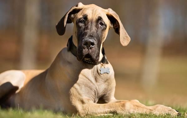 Длинные-породы-собак-Описание-особенности-виды-названия-и-фото-длинных-пород-собак-31