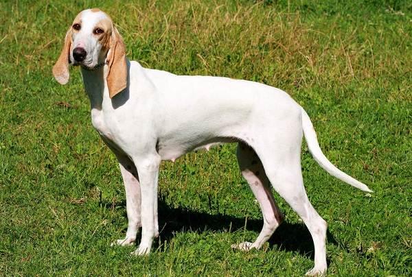 Длинные-породы-собак-Описание-особенности-виды-названия-и-фото-длинных-пород-собак-33