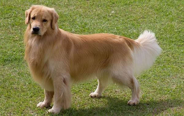 Длинные-породы-собак-Описание-особенности-виды-названия-и-фото-длинных-пород-собак-36