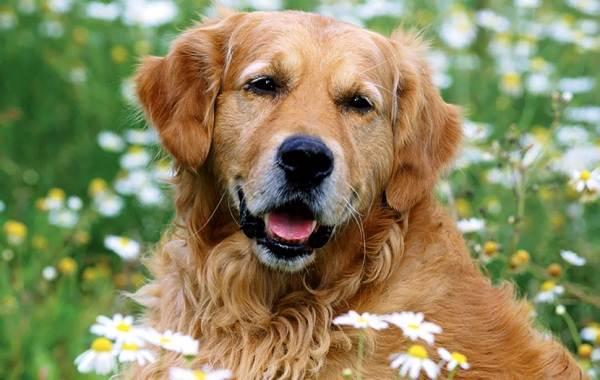 Длинные-породы-собак-Описание-особенности-виды-названия-и-фото-длинных-пород-собак-37