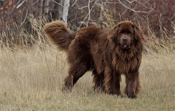 Длинные-породы-собак-Описание-особенности-виды-названия-и-фото-длинных-пород-собак-38
