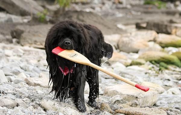 Длинные-породы-собак-Описание-особенности-виды-названия-и-фото-длинных-пород-собак-39