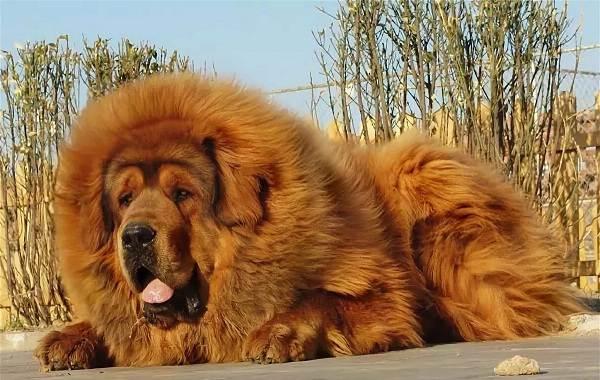 Длинные-породы-собак-Описание-особенности-виды-названия-и-фото-длинных-пород-собак-40