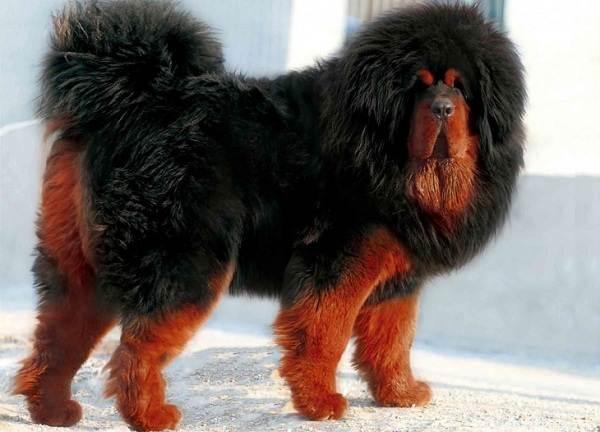 Длинные-породы-собак-Описание-особенности-виды-названия-и-фото-длинных-пород-собак-41