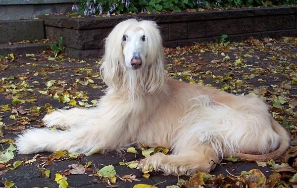 Длинные-породы-собак-Описание-особенности-виды-названия-и-фото-длинных-пород-собак-42