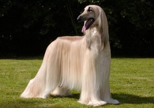 Длинные-породы-собак-Описание-особенности-виды-названия-и-фото-длинных-пород-собак-43