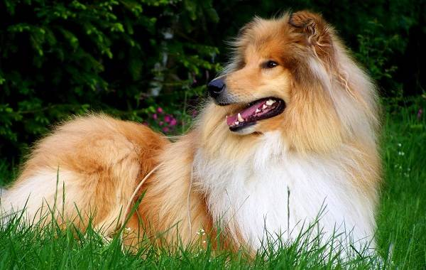 Длинные-породы-собак-Описание-особенности-виды-названия-и-фото-длинных-пород-собак-44