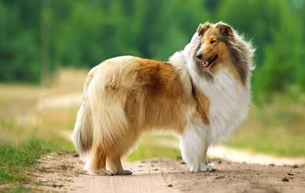 Длинные-породы-собак-Описание-особенности-виды-названия-и-фото-длинных-пород-собак-45