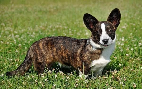 Длинные-породы-собак-Описание-особенности-виды-названия-и-фото-длинных-пород-собак-6