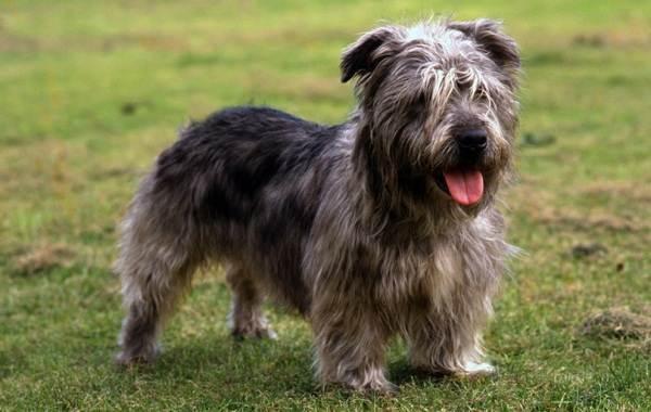 Длинные-породы-собак-Описание-особенности-виды-названия-и-фото-длинных-пород-собак-8