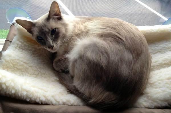Гипоаллергенные-породы-кошек-Описание-названия-особенности-и-фото-кошек-10