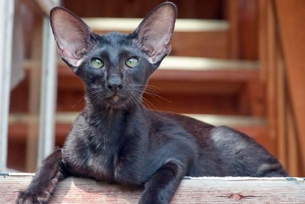 Гипоаллергенные-породы-кошек-Описание-названия-особенности-и-фото-кошек-11
