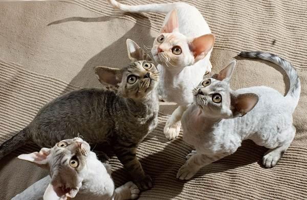 Гипоаллергенные-породы-кошек-Описание-названия-особенности-и-фото-кошек-12