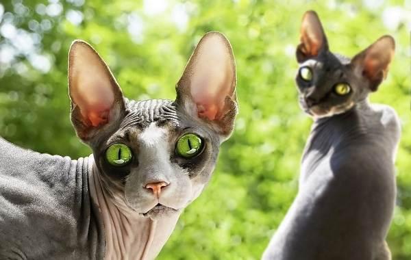 Гипоаллергенные-породы-кошек-Описание-названия-особенности-и-фото-кошек-13