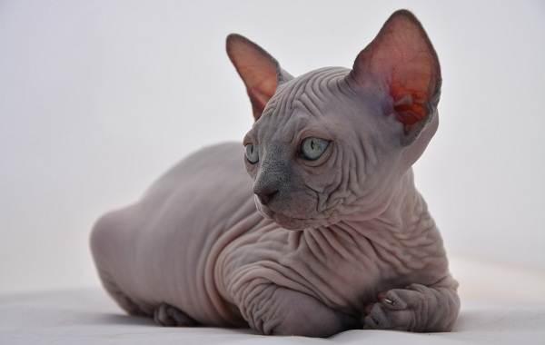 Гипоаллергенные-породы-кошек-Описание-названия-особенности-и-фото-кошек-2