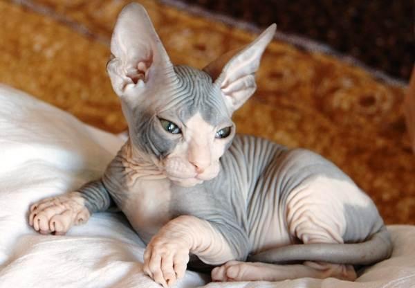 Гипоаллергенные-породы-кошек-Описание-названия-особенности-и-фото-кошек-3