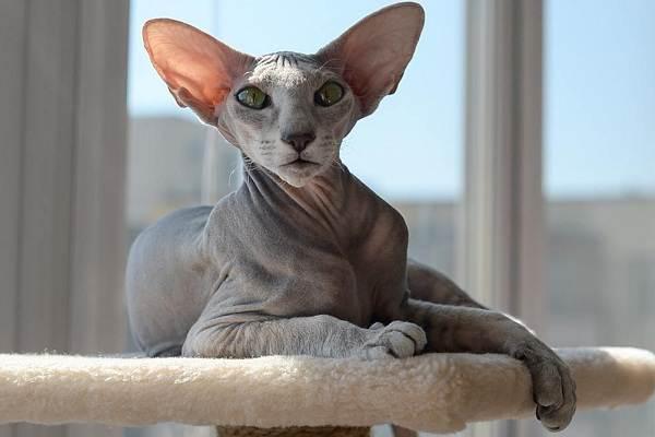 Гипоаллергенные-породы-кошек-Описание-названия-особенности-и-фото-кошек-4