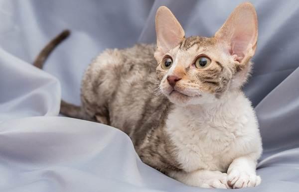 Гипоаллергенные-породы-кошек-Описание-названия-особенности-и-фото-кошек-5