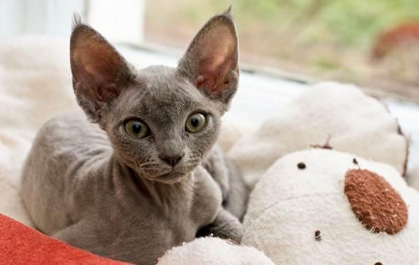 Гипоаллергенные-породы-кошек-Описание-названия-особенности-и-фото-кошек-6