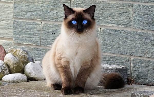 Гипоаллергенные-породы-кошек-Описание-названия-особенности-и-фото-кошек-7
