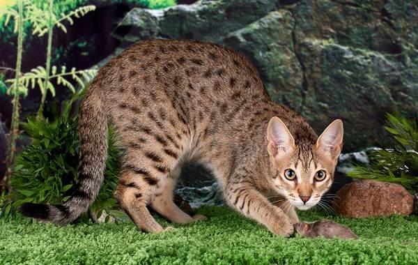 Гипоаллергенные-породы-кошек-Описание-названия-особенности-и-фото-кошек-8