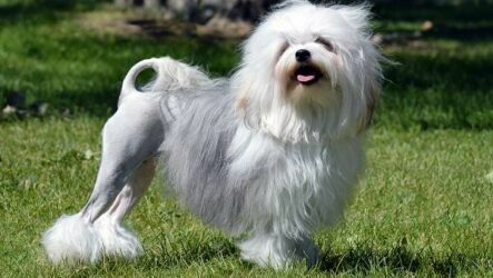 Левхен собака. Описание, особенности, виды, характер, уход и цена породы левхен