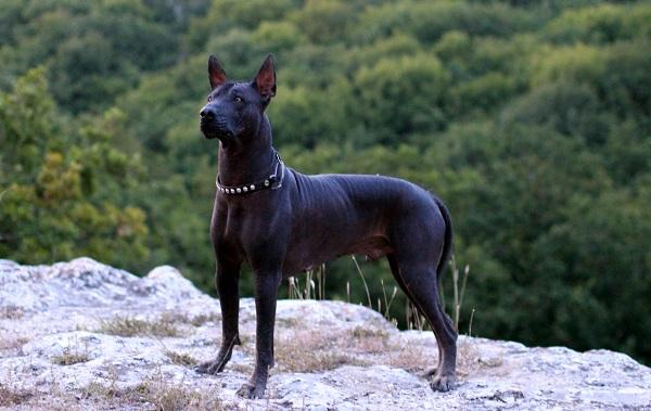 Лысые-породы-собак-Описание-особенности-названия-виды-и-фото-лысых-пород-собак-10