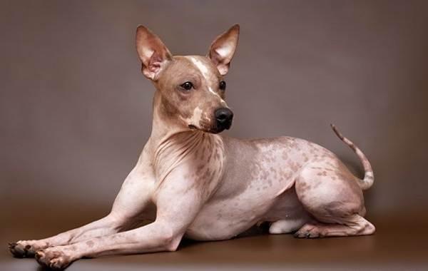 Лысые-породы-собак-Описание-особенности-названия-виды-и-фото-лысых-пород-собак-2