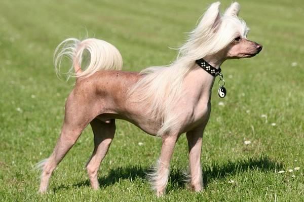 Лысые-породы-собак-Описание-особенности-названия-виды-и-фото-лысых-пород-собак-3