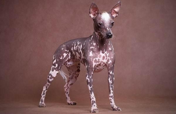Лысые-породы-собак-Описание-особенности-названия-виды-и-фото-лысых-пород-собак-6